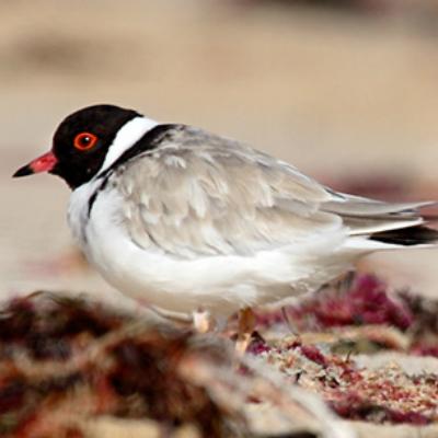 hooded-plover-birds-australia-gal.jpg